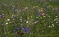 Wild Flowers (2724066911).jpg