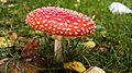 Wild mushroom in Finland.jpg