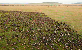 Frankfurt Zoological Society - Wildebeest Migration in Serengeti National Park, Tanzania. Each year, enormous herds of wildebeest and zebra move thousands of kilometres across the Serengeti-Mara. These herds have a pivotal role in maintaining the ecosystem.