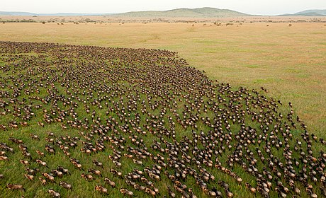 Wildebeest migration in the Serengeti Wildebeest Migration in Serengeti National Park, Tanzania.jpg