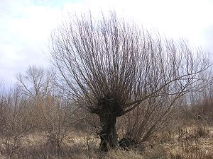 Withy - A pollarded willow with a crop of withies ready for harvest