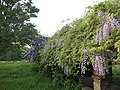 Wisteria in Eltham Pleasaunce - geograph.org.uk - 1297371.jpg