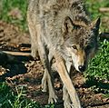 "Wolf ""Cephira"" in summer.jpg"
