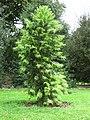 Wollemia nobilis (Kew Gardens).JPG
