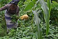 Women farmer harvesting vegetables.jpg