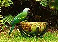 Wompoo pigeon.JPG