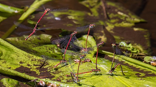 Large red damselflies in the swamps of the Wurzacher Ried (southern Germany) at egg deposition