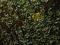 Xanthoria parietina 109728710.jpg