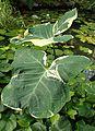 Xanthosoma sagittifolium 'Albo-marginatum Monstrosum' kz1.jpg