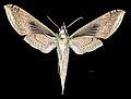Xylophanes amadis MHNT CUT 2010 0 252 French Guyana Female ventral.jpg