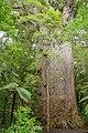 Yakas kauri tree trunk 2.jpg