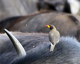 Yellow-billed Oxpecker (Buphagus africanus), Masi Mara.jpg