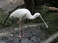 Yellow-billed Spoonbill SMTC.jpg