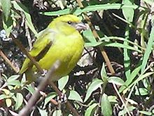 Yellow-crowned canary1.jpg