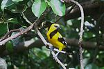 Yellow Oriole.JPG