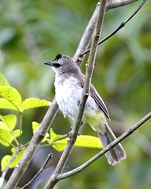 Borneo Orangutan Survival - Yellow-vented bulbul, one of the 137 species of birds now found at Samboja Lestari