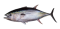 Yellowfin-transp.png