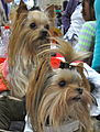 Yorkshire Terriers (Yorkies) (8109901776).jpg