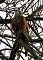 Young Red Kite.jpg