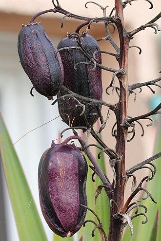 Yucca - Purplish fruits of Yucca aloifolia.