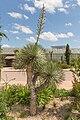 Yucca gloriosa (Yucca) - 79.jpg