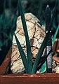 Yucca schottii fh 1186.7 AZ in cultur B.jpg