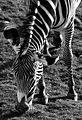 Zebra at Edinburgh Zoo.JPG