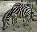 Zebra rownikowa Equus burchelli boehmi RB2.jpg
