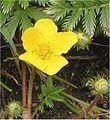 Zilverschoon bloem Potentilla anserina.jpg