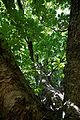 'Aesculus hippocastanum' horse-chestnut conker tree at Feeringbury Manor, Feering Essex England 3.jpg