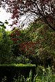 'Pissardii' Prunus cerasifera Purpl-leaved plum Gibberd Garden Essex England.jpg