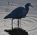 (1)Heron-998.jpg