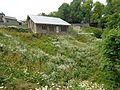 (English Daisy) Inbellis Perennis Flowers.jpg