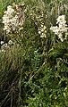 (MHNT) Filipendula vulgaris - Habit.jpg