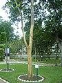 Árbol de Uña de Gato en el Jardín Botánico de Lima.jpg