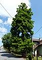Šilheřovice, okres Opava, památný strom u hájenky - tisovec dvouřadý - Taxodium Distichum (1).JPG