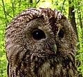 Šumska sova (Strix aluco), odrasla jedinka; Tawny Owl adult.jpg