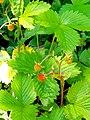Αγριοφράουλες-.jpg