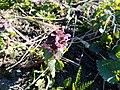 Бутон цветка молодой крапивы.jpg