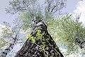 Група вікових дерев тополі білої 06.jpg