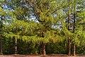 Дерево Лиственница Сибирская.jpg