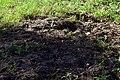 Змієві вали Перекопана кабанами земля DSC 0616.jpg