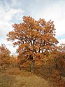 Космат дъб - есен.jpg