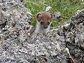 Любопытный зверёк, Приэльбрусье - июль 2008 - panoramio.jpg