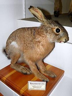 Маньчжурский заяц.jpg