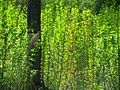 Молодой осинник - panoramio.jpg