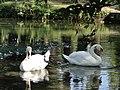 Новый Афон. Лебеди в Приморском парке - panoramio (4).jpg