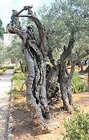 Оld Olive trees in the Garden of Gethsemane, 05.jpg