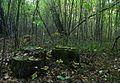 Пень в лесу - panoramio.jpg