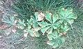 Саженец конского каштана, поражённый болезнью ржавые листья.jpg